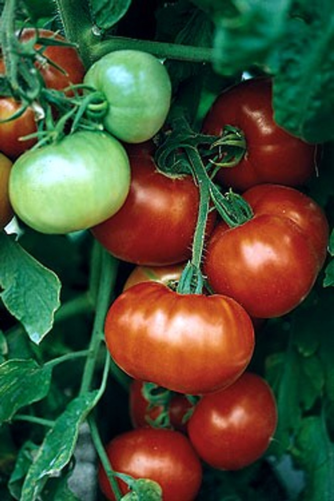 Super Fantastic Tomato 45 Seeds-Large, Red, Meaty Fruit
