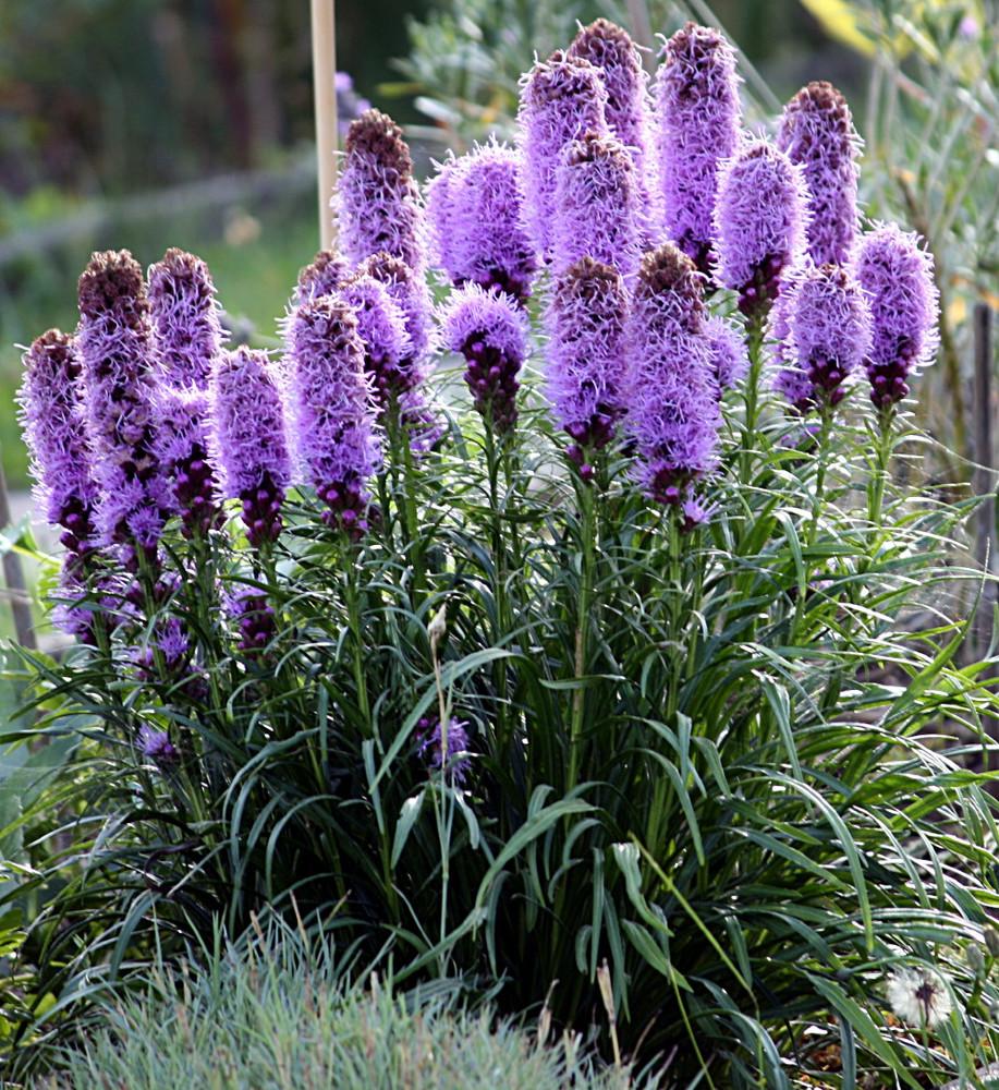 """Gay Feather - Liatris Spicata - Hardy Perennial Plant - 4"""" Pot"""