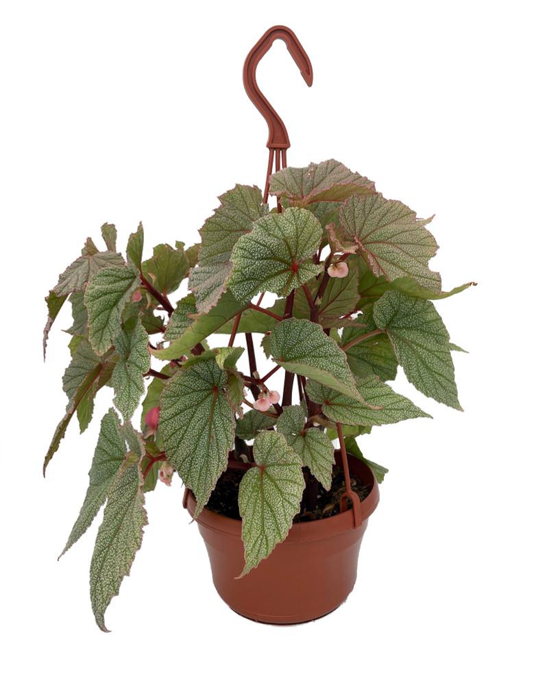 """Sinbad Pink Angel Wing Begonia - 6"""" Hanging Basket - Great House Plant"""
