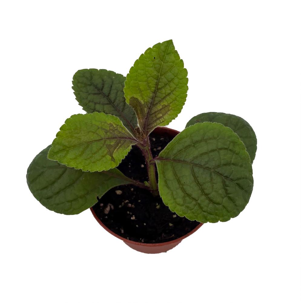 "Gothic Black Swedish Ivy Plant - Plectranthus - 2.5"" Pot - Easy to Grow"