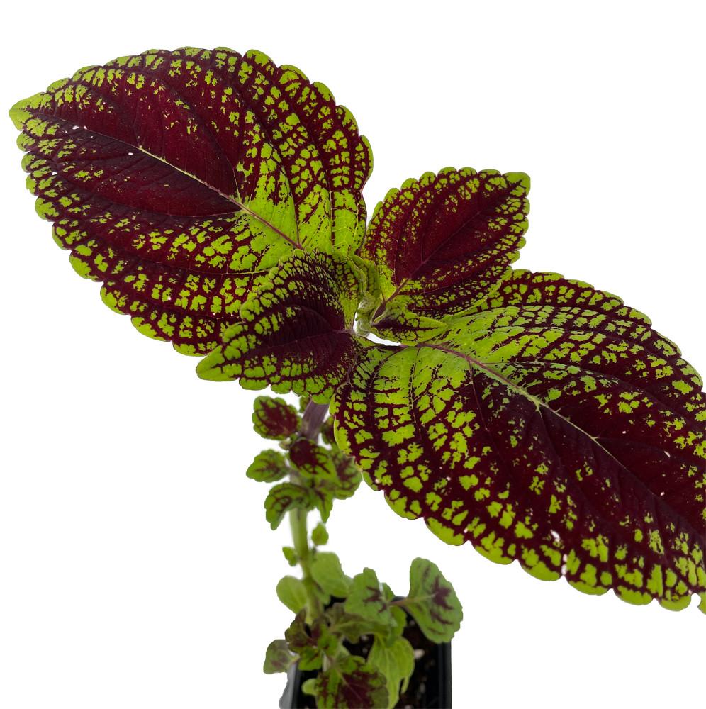 """Solar Sunrise Coleus Plant - Solenostemon - 2.5"""" Pot"""