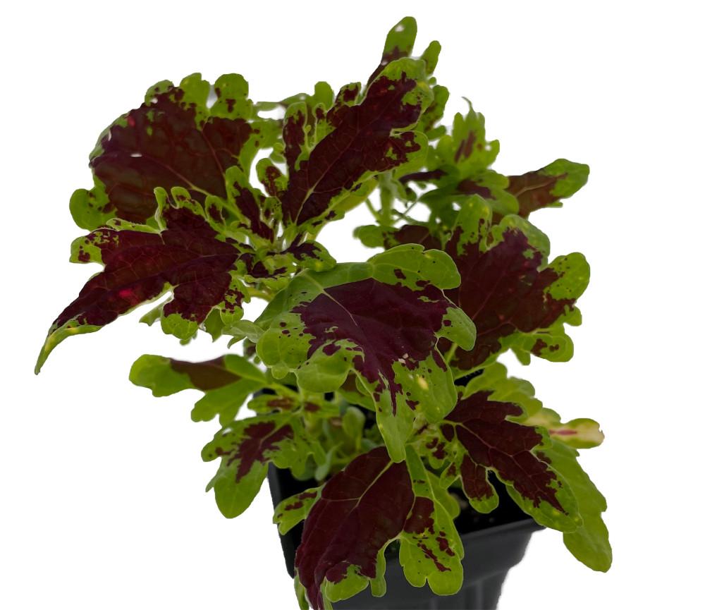 """Ducksfoot Super Coleus Plant - Solenostemon - 2.5"""" Pot"""