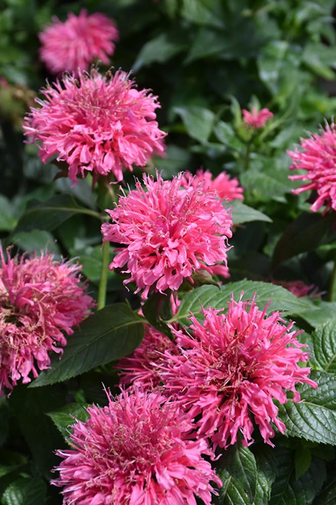 Sugar Buzz® Bubble Gum Blast Bee Balm - Monarda - Pink - Gallon Pot