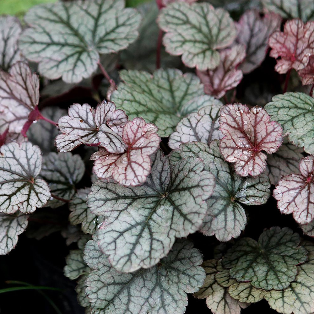Silver Scrolls Coral Bells - Heuchera - Live Plant - Gallon Pot