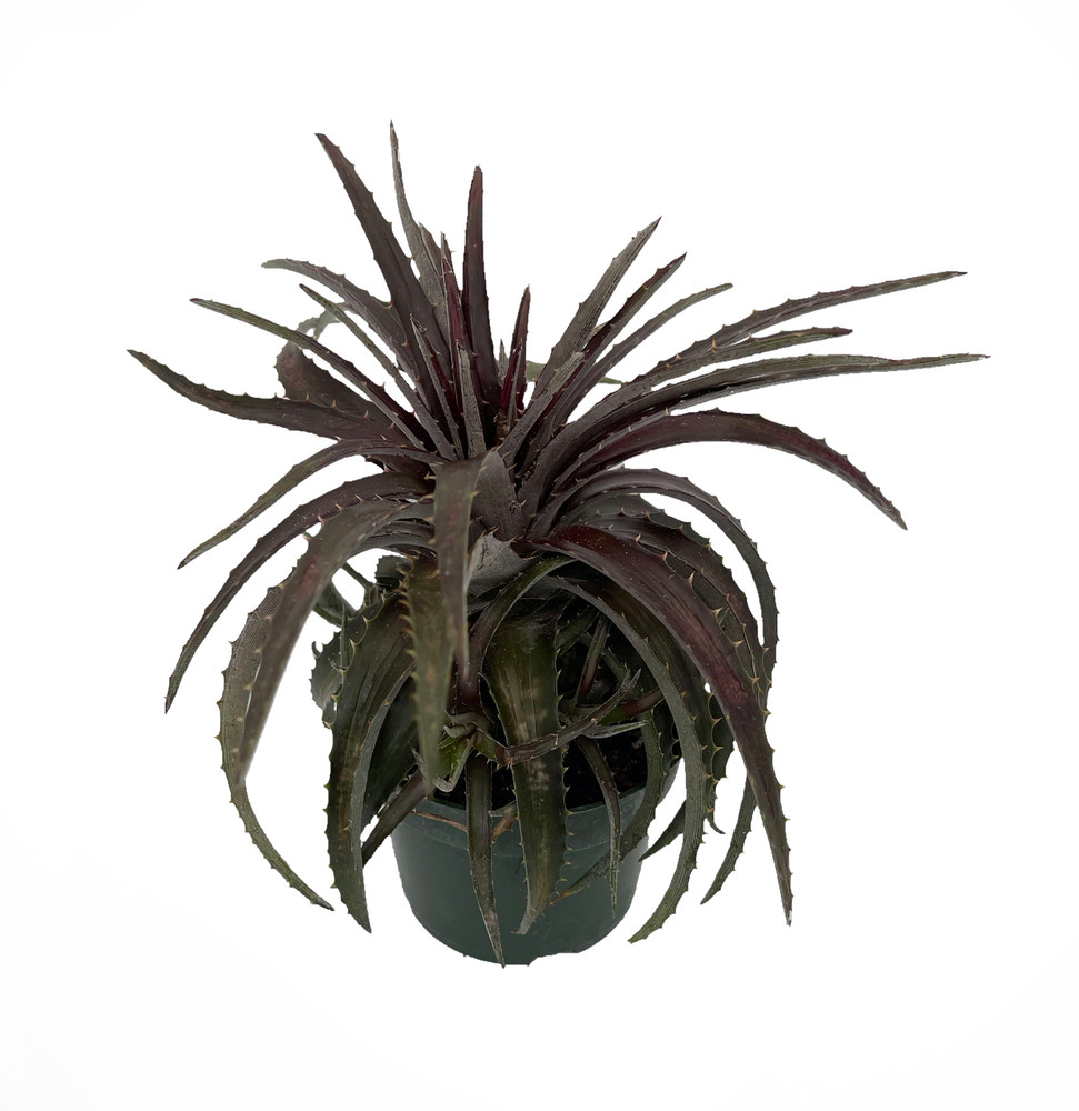 """Red Devil Dykia Plant - 4"""" Pot - Easy to Grow House Plant -Succulent Bromeliad"""