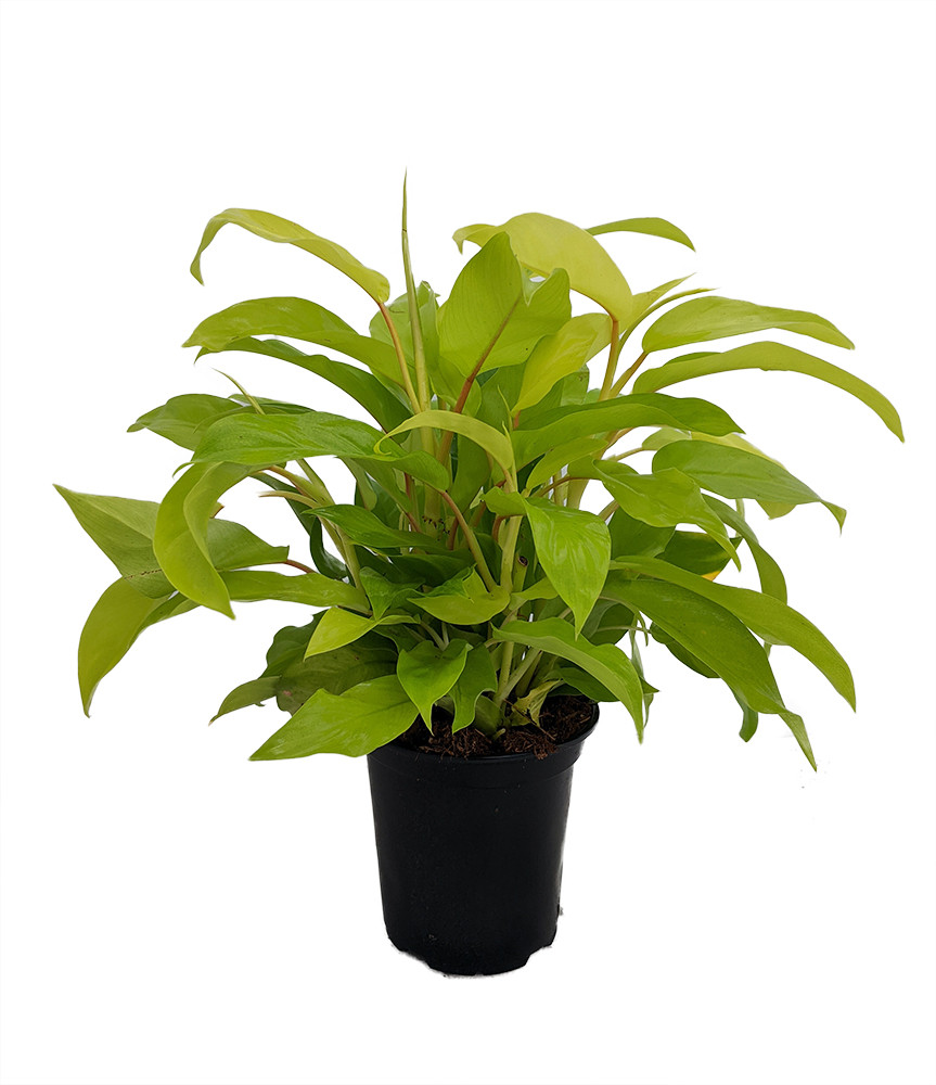 """Upright Lemon Lime Philodendron - Easy to Grow - 6"""" Pot"""