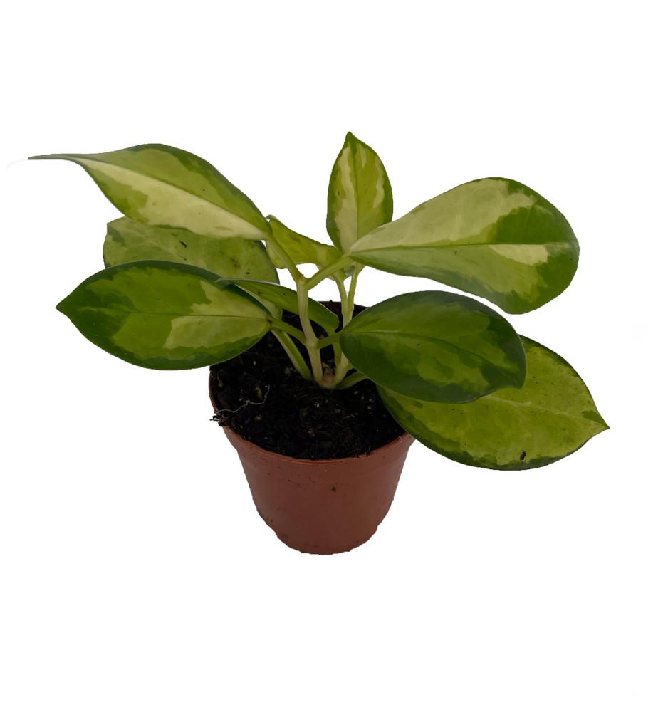 "Hoya Australis - Exotic Yet Easy - 2"" Pot"