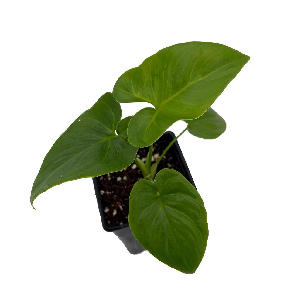 "Goeldii Philodendron - 2.5"" Pot - Trending/Collector's Series"