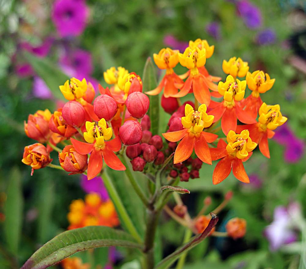 "Scarlet Tropical Milkweed - Asclepias curassavica - 2.5"" Pot - Bloodflower"