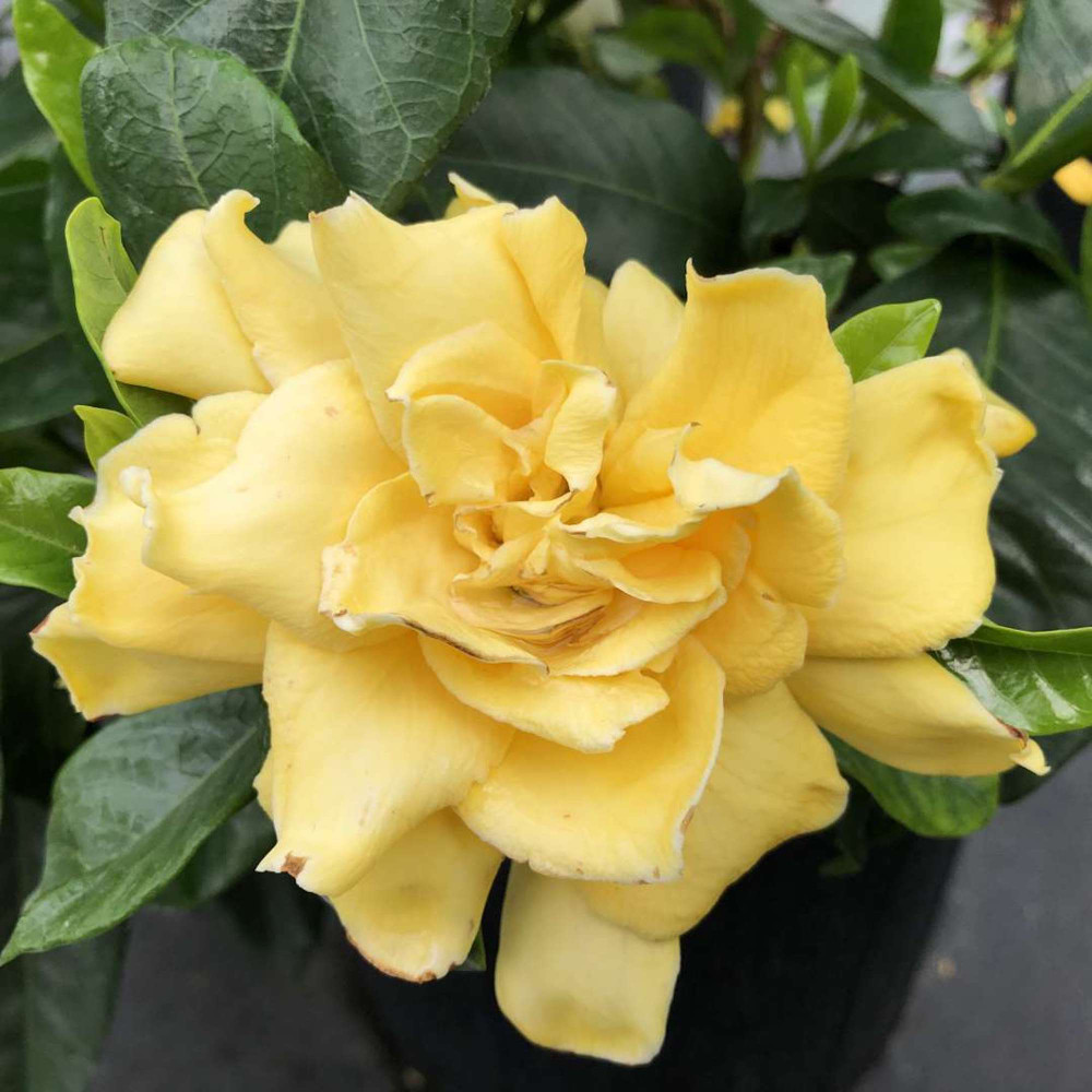 "Golden Magic Gardenia - Gardenia jasminoides - 4"" Pot"