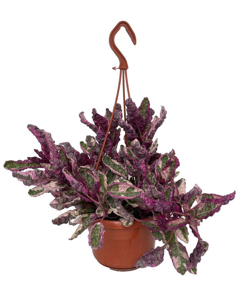 "Snow White Waffle Plant - Hemigraphis - 6"" Hanging Basket"