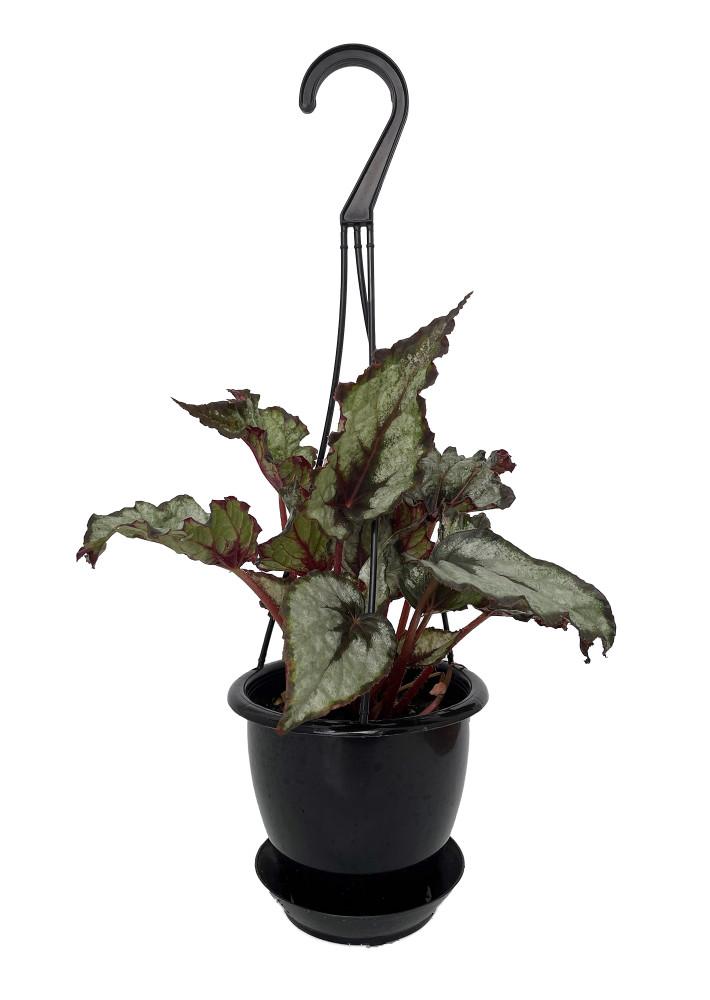 """Raindance Rex Begonia Plant - 4.5"""" Black Hanging Basket - Great Houseplant"""