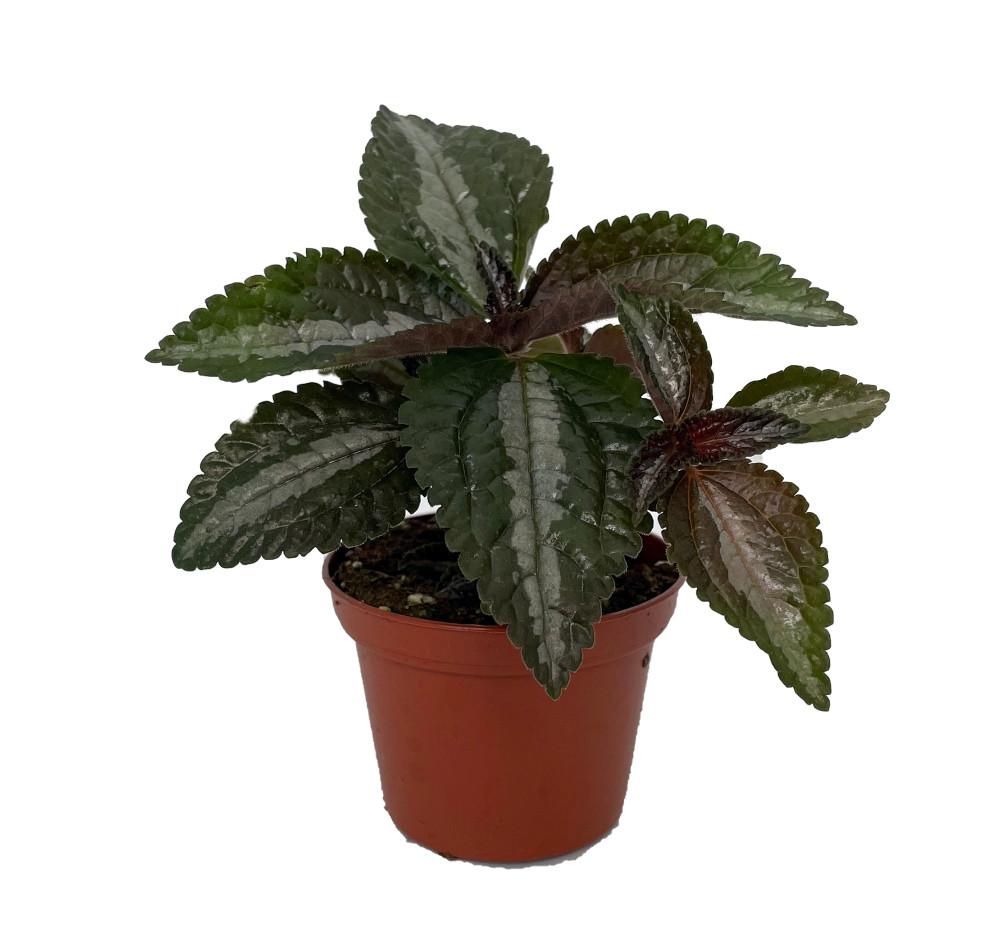 "Silver Tree Pilea spruceana - Friendship Plant - 2.5"" Pot"