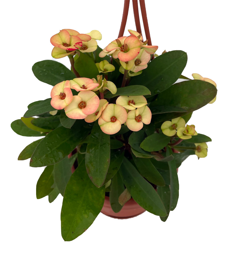 "Poseidon Biblical Crown of Thorns Plant - Euphorbia - 4"" Mini Hanging Basket"