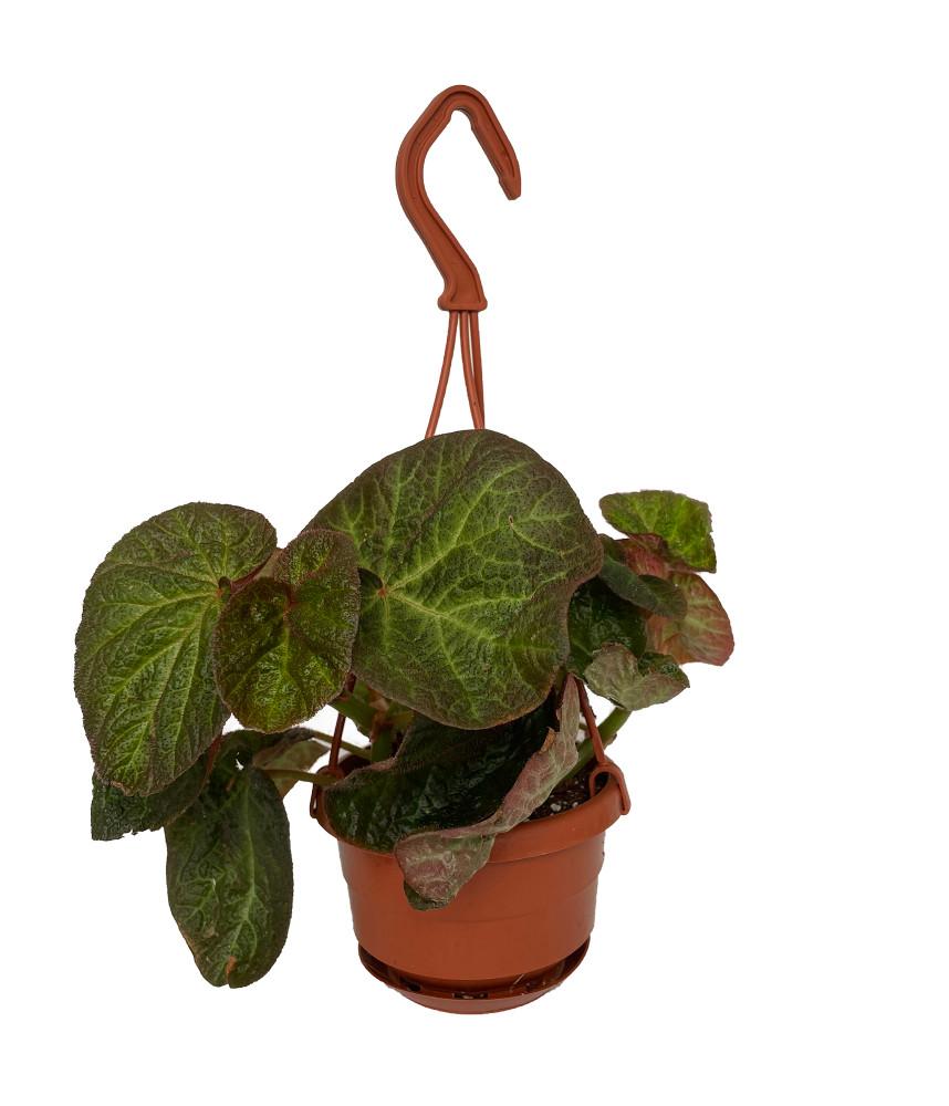 "Brazilian Species Begonia Plant - 4"" Mini Hanging Basket"