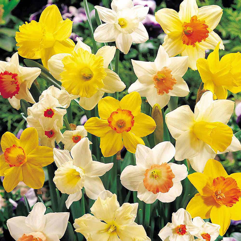Sunshine Narcissus Mix 50 Bulbs- 14/16 cm Bulbs - Value Bag