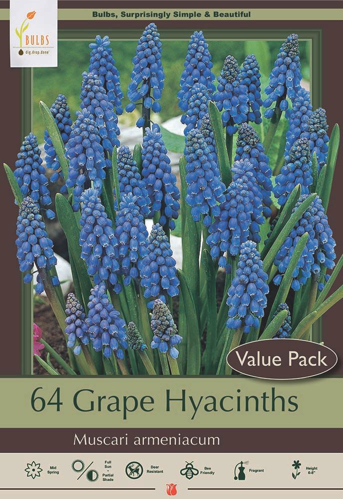 Blue Grape Hyacinth 64 Bulbs - Muscari armeniacum - 8/9 cm Bulbs- Value Pack