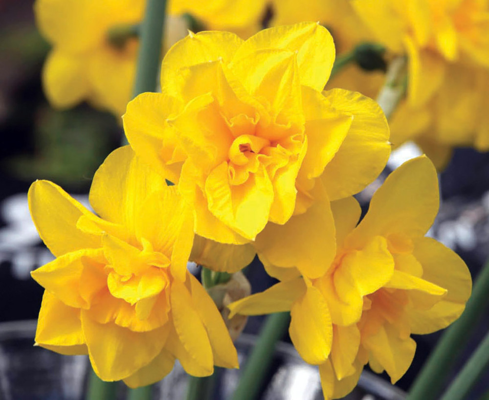 Golden Delicious Double Flowering Narcissus/Daffodil 10 Bulbs - 12/14 cm Bulbs