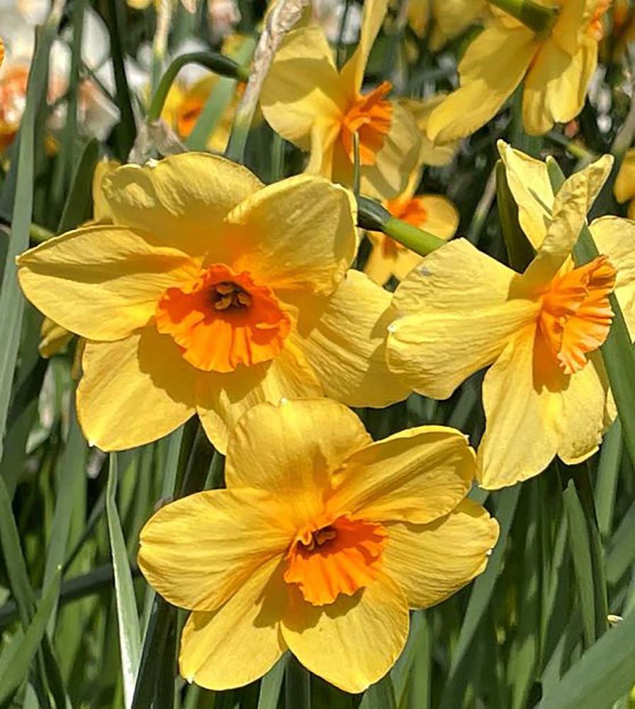 Kedron Jonquilla Daffodil 5 Bulbs - 12/14 cm Bulbs