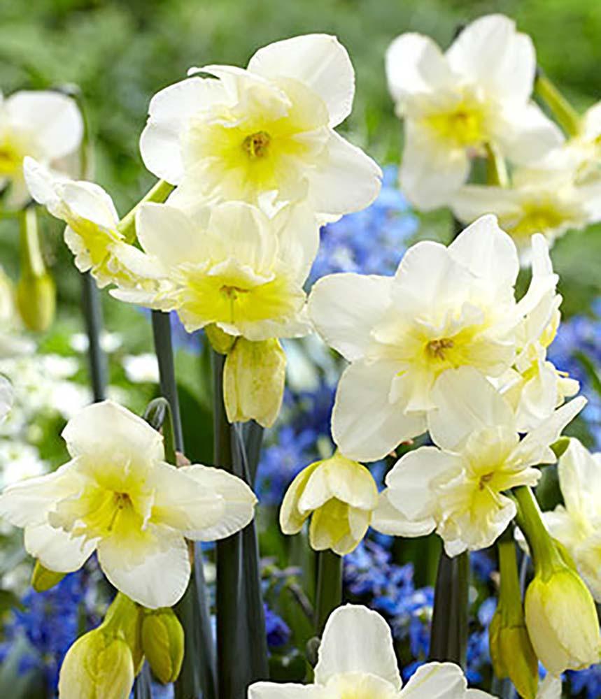 Tristar Narcissus/Daffodil 10 Bulbs  - 12/14 cm Bulbs