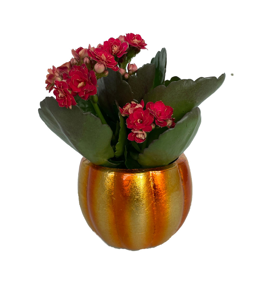 """Mini Pepo Pumpkin Planter with Red Calandiva Succulent Plant- 3"""" x 3"""""""