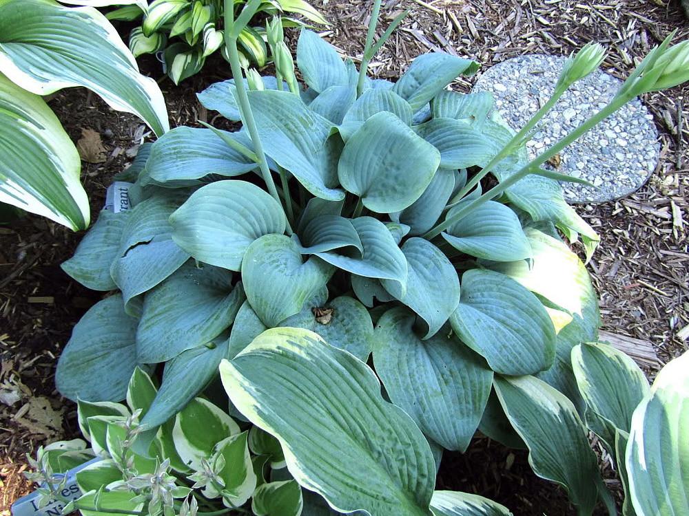 """Fragrant Blue Hosta - Blue Leaves - Fragrant White Flowers - 4"""" Pot"""