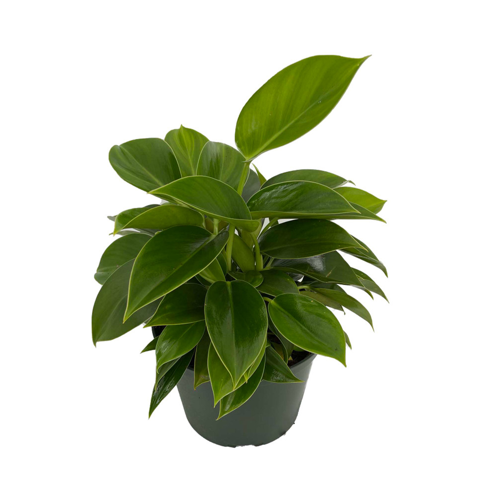 """Green Princess Philodendron - Easy to Grow - 6"""" Pot - Collector's Series"""