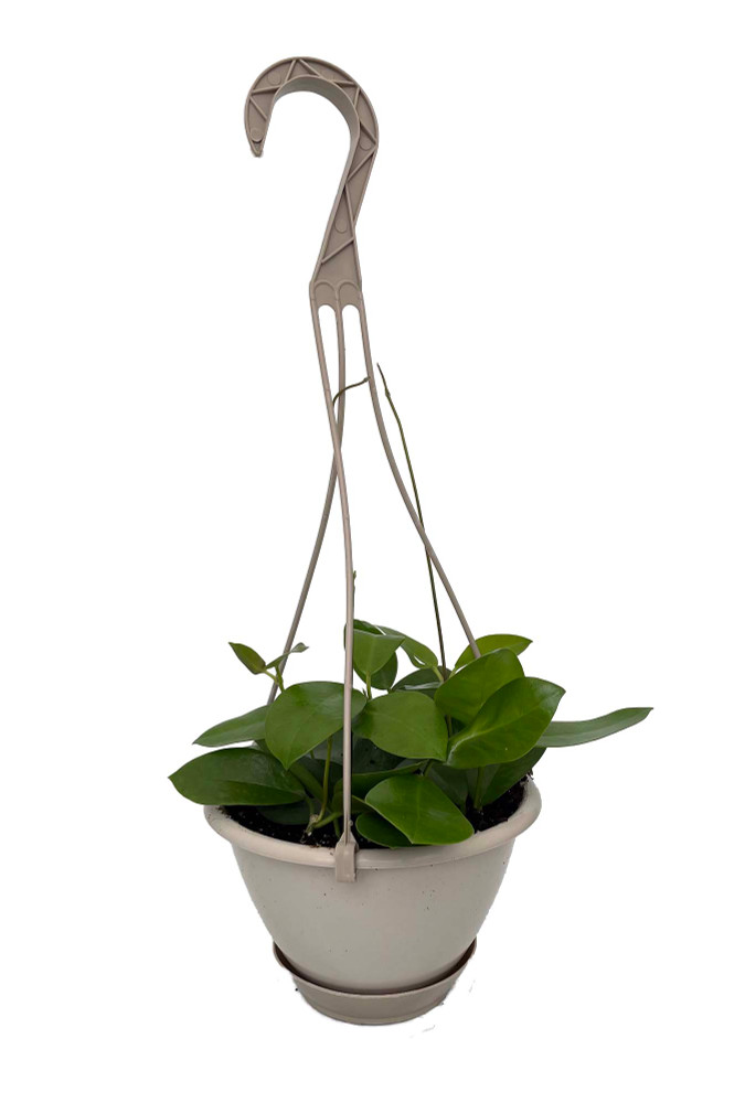 "Hoya Australis - 6"" Hanging Basket - Exotic Yet Easy"
