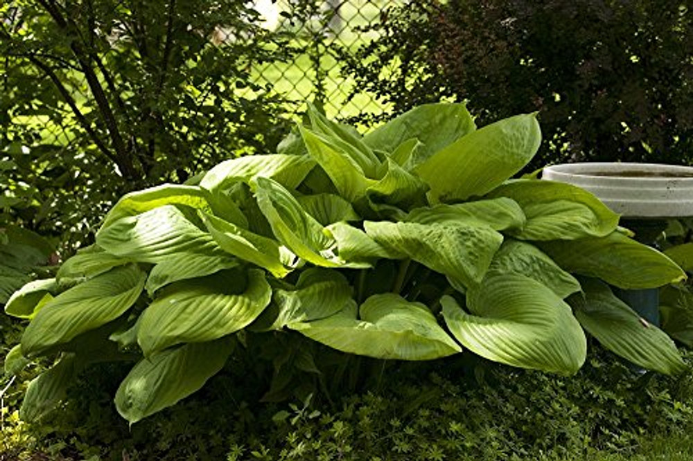 Sum and Substance - 2004 Hosta of the year! - Live Plant - Quart Pot