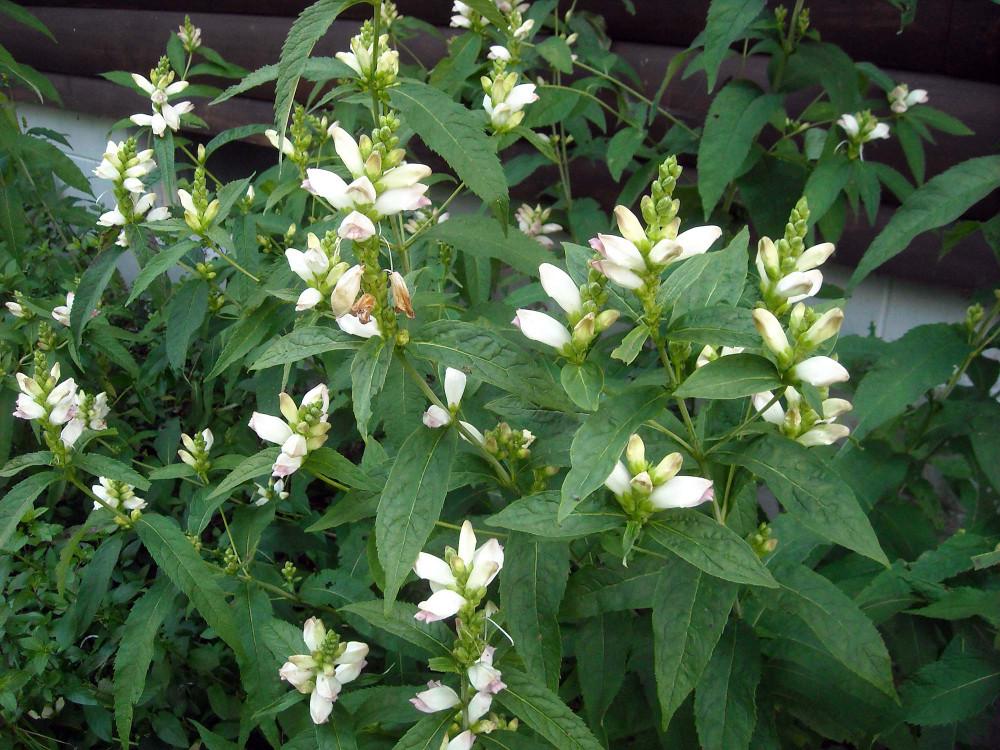 White Turtlehead Perennial - Chelone glabra - Quart Pot