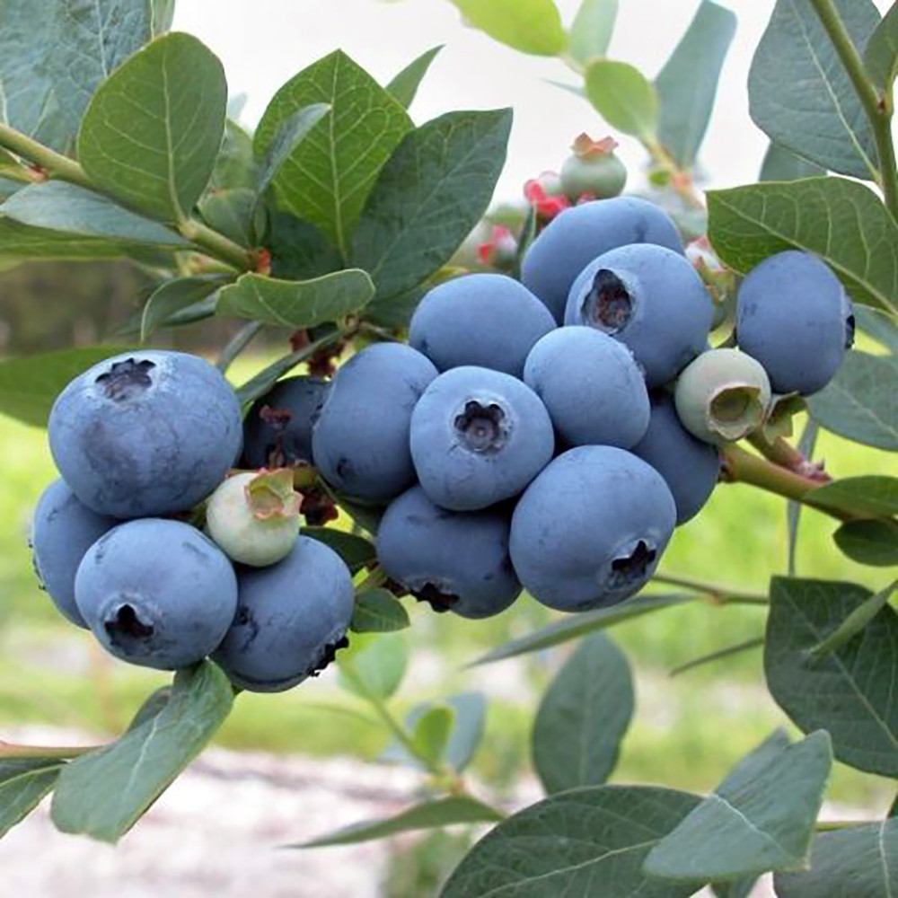 "Patriot Blueberry Plant - Early Season - 4"" Pot"