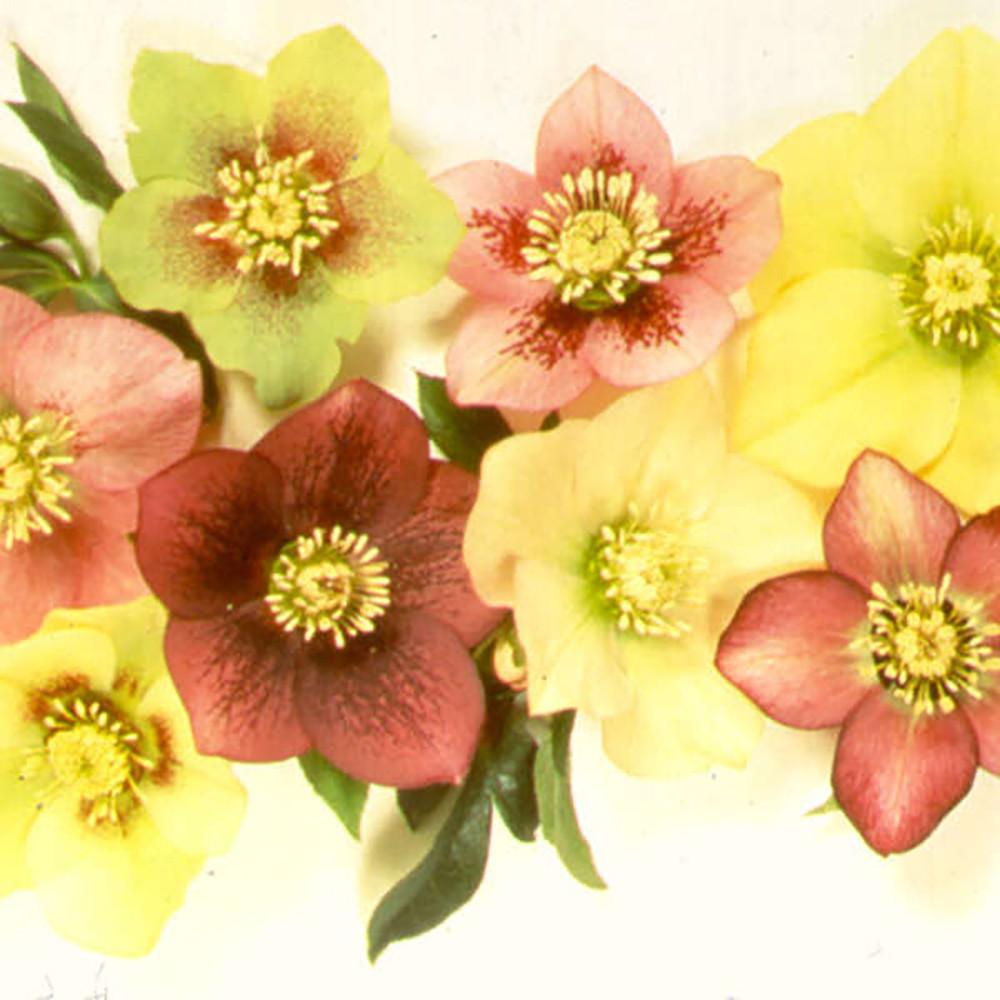 "Sunshine Selection Christmas/Lenten Rose - Helleborus - Shade - 4"" Pot"