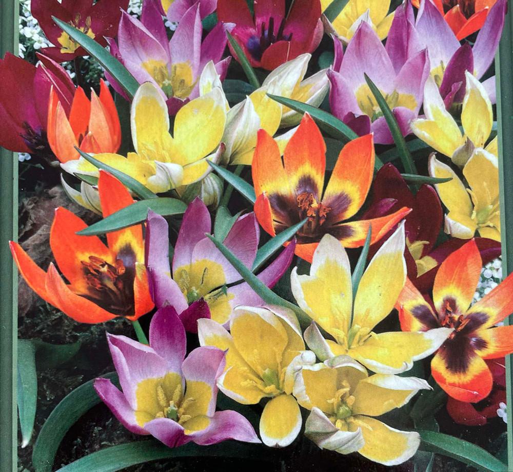Wildflower Mix Tulip 35 Bulbs  - 6/+ cm Bulbs