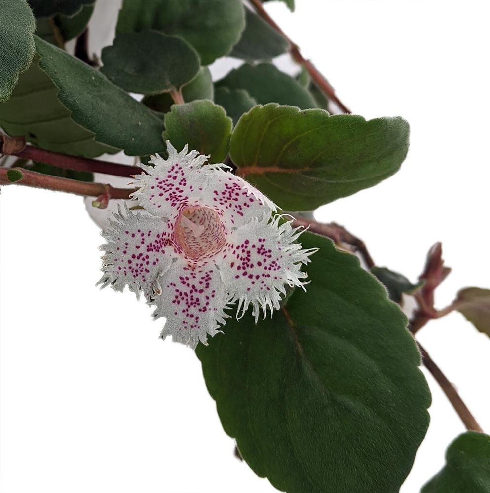 "San Miguel Lace Flower - Alsobia dianthiflora - 4"" Mini Hanging Basket"