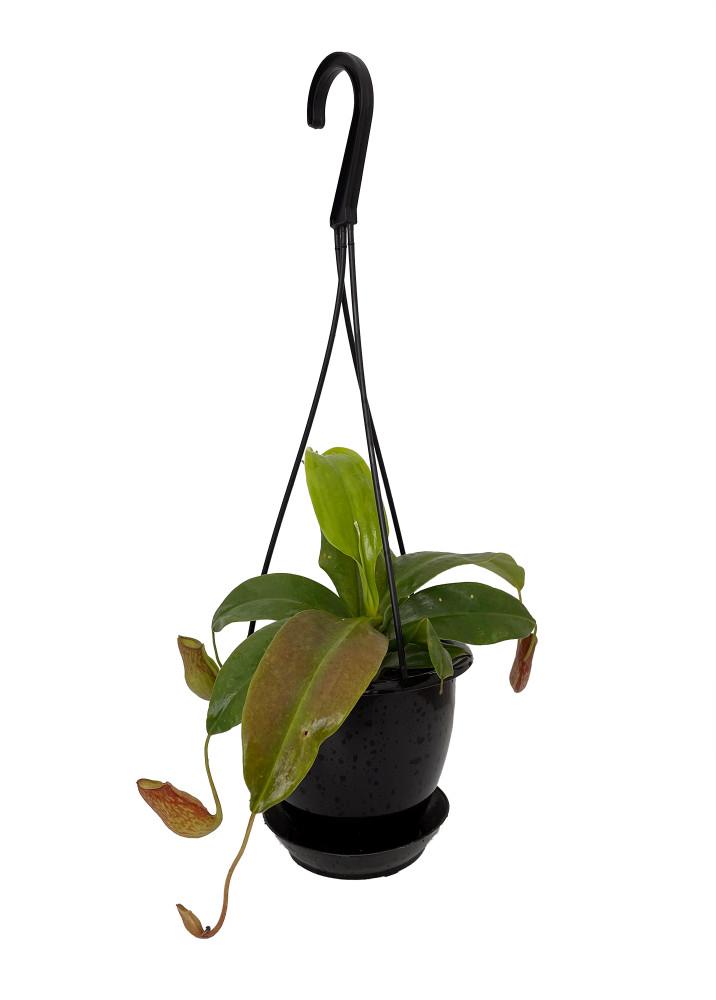 """Gaya Pitcher Plant - Nepenthes - Carnivorous - 4.5"""" Black Hanging Basket"""