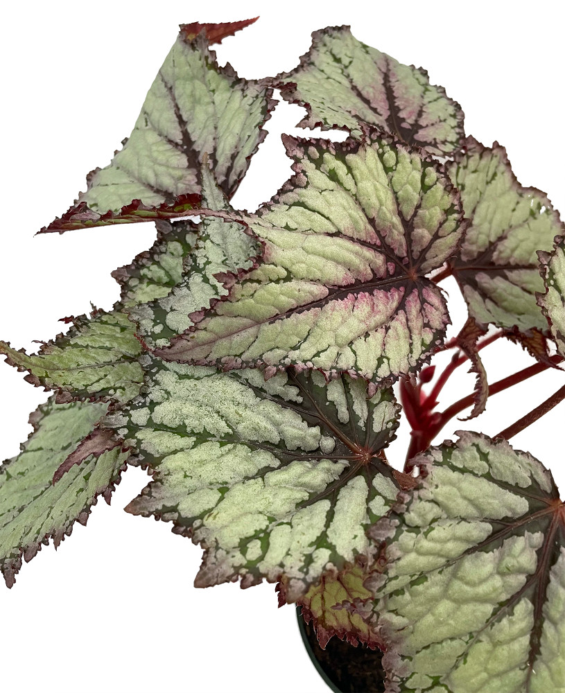 "Fire Spike Rex Begonia Plant - 4"" Pot - Great Houseplant"
