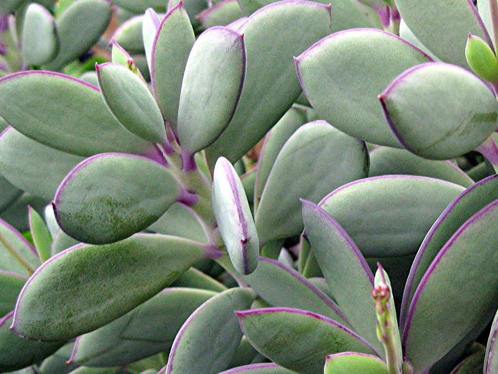 """Vertical Leaf Succulent Plant - 2 Pack 2"""" Pots - Senecio crassissimus"""