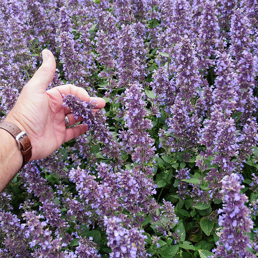 Whispurr™ Blue Catmint Perennial - Nepeta faassenii - Quart Pot