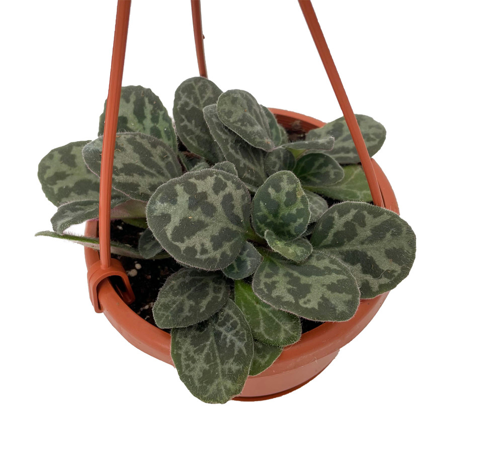 """Frosted Jade Asian Violet - Primulina yungfuensis - 4"""" Mini Hanging Basket"""