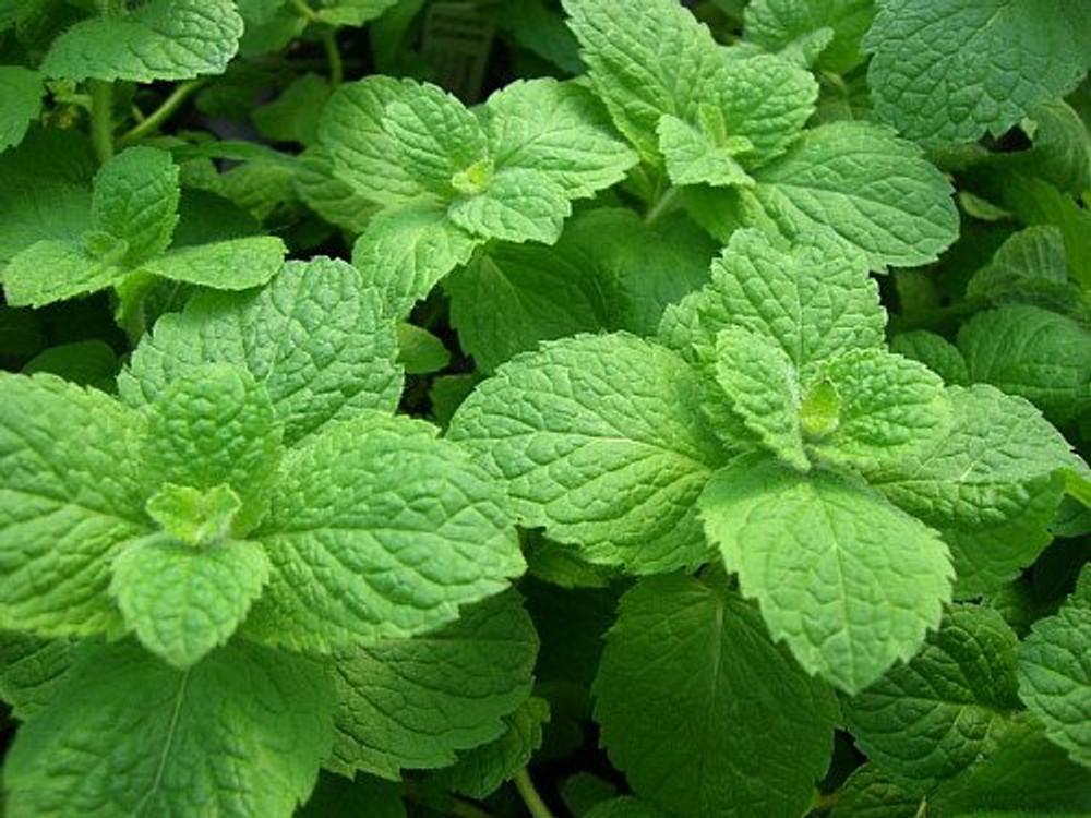 """Apple Mint - Mint Sauces, Fruit Salads, Punches - Live Plant - 3"""" Pot"""