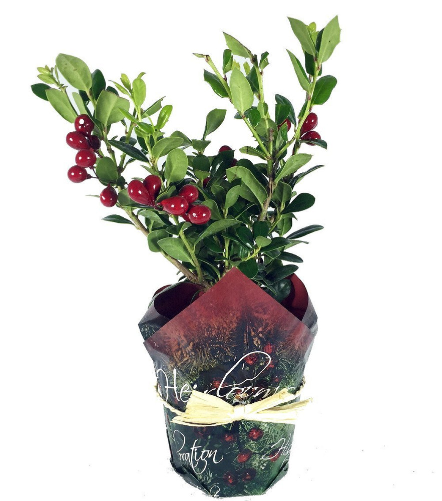 "Decorated English Holly - 4"" Pot - Indoors/Out -Faux Berries/Pot Cover"