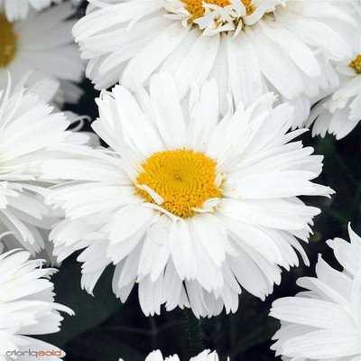 Freak Shasta Daisy - Leucanthemum - Huge Flowers - Quart Pot