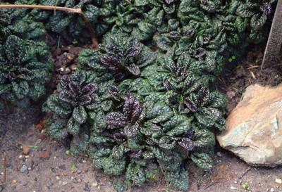 "Metallica Crispa Ajuga - Carpet Bugle - Huge Leaves - 48 Plants - 1 3/4"" Pots"