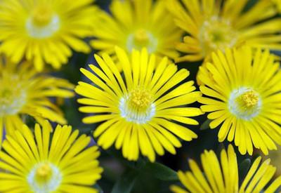 Golden Wonder Ice Plant - Perennial - Delosperma - Live Plant - Quart Pot