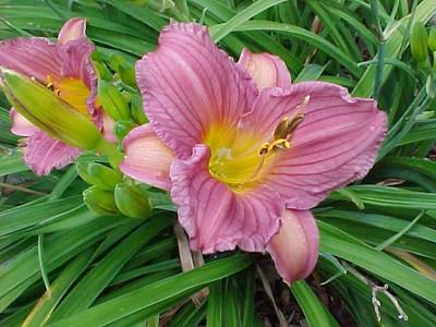 """Purple D'Oro Daylily Perennial - Hemerocallis - 4"""" Pot"""