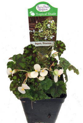 "Rhinestone Begonia Plant - 2.5"" Pot - Terrarium/Fairy Garden/House Plant"