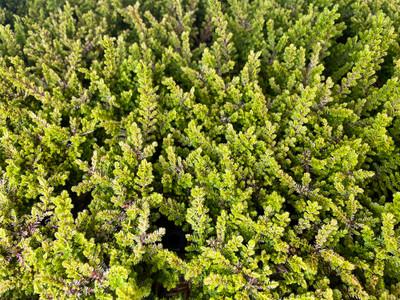 "Firefly Scotch Heather - Calluna vulgaris - Hardy - 4"" Pot"
