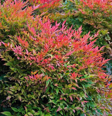 "Gulf Stream Heavenly Bamboo - Nandina - 2.5"" Pot"