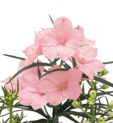 Summer Morning Delphinium - Dwarf Pink - Live Plant - Quart Pot