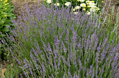 Dilly Dilly Lavender Herb - Perennial - Indoors or Out - Gallon Pot